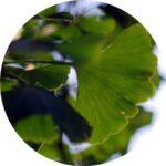 Ekstrakt z liści miłorzębu japońskiego